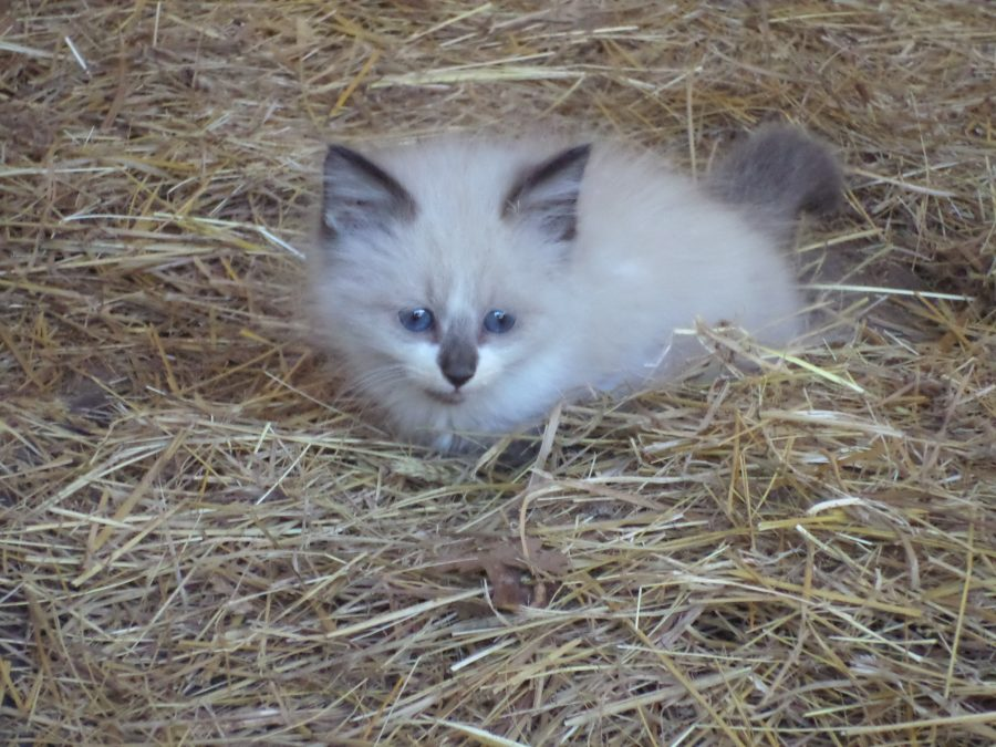 farm kitten