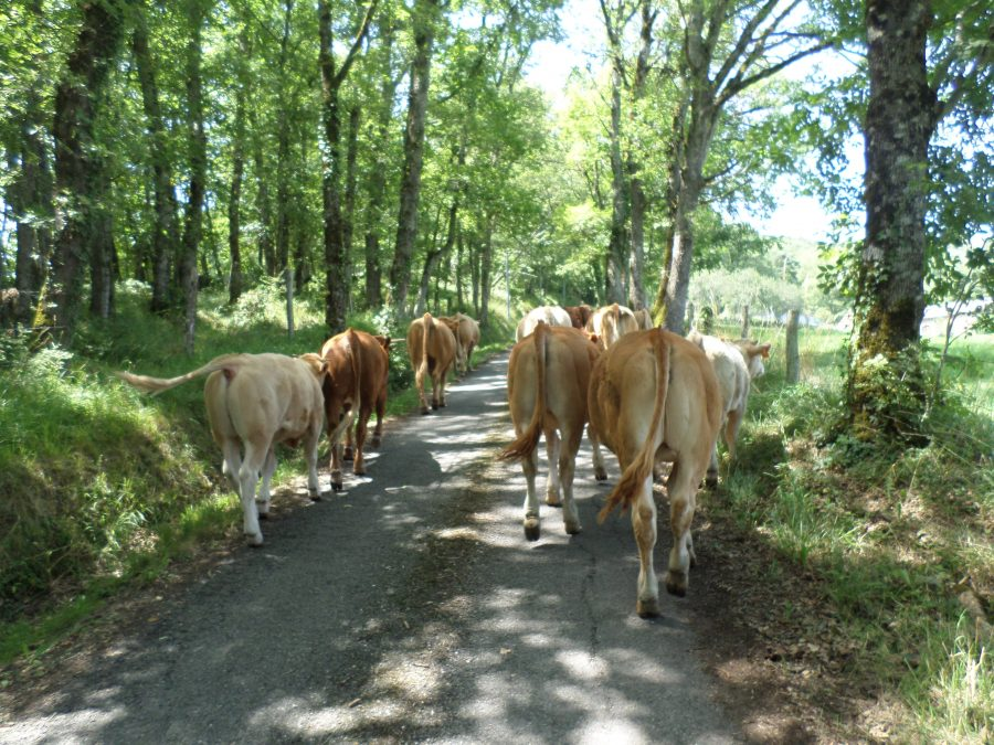 moving the cows