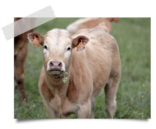 La Singlarie herd